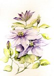 Marie-Claire Houmeau - The Clematis