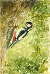 Marc Pfund - great spotted woodpecker