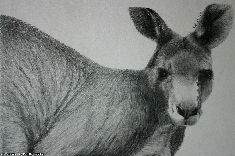Artwork >> Paul Ray Whitton. >> kangaroo