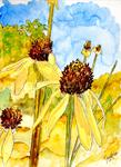 Derek Mccrea - yellow coneflowers echinacea cone flower