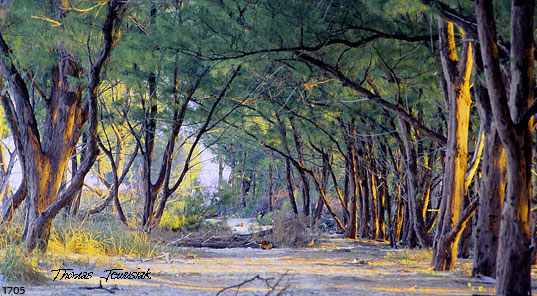 Artwork >> Thomas Jewusiak >> Beach Woods 2