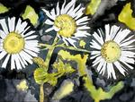 Derek Mccrea - heath aster flower wildflower art