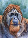 Arts And Dogs - Orang Utan