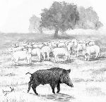 Juan Jose Lozano Merino - wildboar on with  sheep