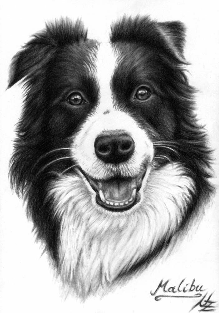 Artwork >> Arts And Dogs >> Border Collie